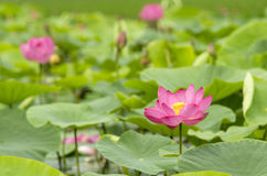 Lotus flower in pink color Stock Photos