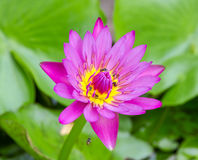 Lotus flower pink color. Stock Photos