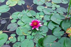 Lotus flower of pink color in the water. On a background of green leaves of a water lily. Close up royalty free stock images