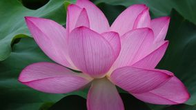 Lotus flower stock video