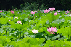Lotus flower. Pink lotus flower with green leaves Royalty Free Stock Photo