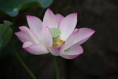 Lotus, flower, pink, lily, water Royalty Free Stock Photography