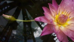 The Lotus Flower. Pink lotus flower in pond Royalty Free Stock Photo