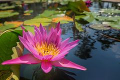 Lotus flower in pink purple violet color. bee insect in pollen with green leaves in nature water pond. close up, light orbs Stock Photos