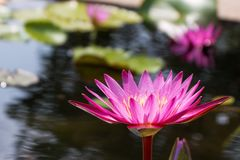 Lotus flower in pink purple violet color with green leaves in nature water pond. light orbs. Stock Photos