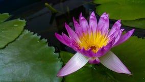 Lotus.flower. Lotus. Pink lotus. Water flower Stock Photos