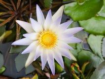 Lotus flower plant stock photo