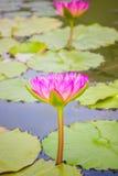 Lotus flower plants. Royalty Free Stock Photos