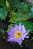 Lotus flower. And  plants Royalty Free Stock Images
