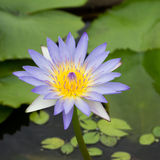Lotus flower. Lotus plants with beautiful flowers Stock Photos