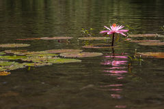 Lotus Flower. Lotus plants with flower and fish on a natural pond of water Stock Image