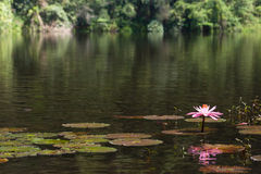 Lotus Flower. Lotus plants with flower and fish on a natural pond of water Royalty Free Stock Image