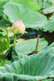 The Lotus flower plants. Lotus flower buds Stock Image