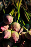 Lotus flower plants. Lotus flower buds. Lotus is a symbol of Buddhism in Asia. Sunlight passes through lotus flowers Royalty Free Stock Image