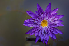 Lotus flower. And  plants  in the pond Stock Photo