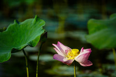 Lotus flower and plants royalty free stock photos