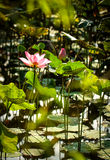 Lotus flower and plants stock images