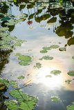Lotus flower and plants royalty free stock images
