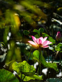 Lotus flower and plants stock image