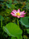 Lotus flower and plants stock photos