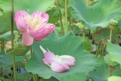 Lotus flower plants in the pond nature Royalty Free Stock Images