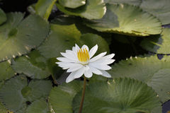 A lotus flower in a pond Stock Images