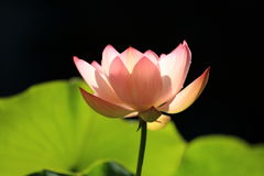 Lotus. Flower in a pond royalty free stock images