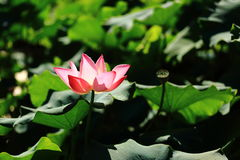 Lotus. Flower in a pond royalty free stock photos