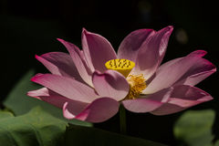 Lotus. Flower in a pond stock photography