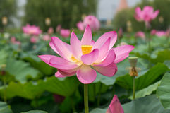 Lotus Flower Pond Royaltyfria Foton