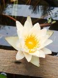 Lotus flower Stock Photography