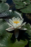 Lotus flower close up photo. Water lilly flower isolated macro photography. White flower in a pond Stock Photo