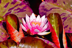 Lotus flower in the pond Stock Images