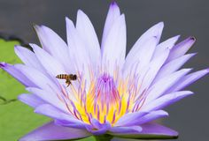Lotus flower in pond and bee royalty free stock images