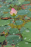 Lotus flower pond Royalty Free Stock Photo