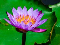 Lotus flower in pond closeup royalty free stock images