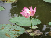 Lotus flower in a pond. Lotus flower floating on water in Bogor Royalty Free Stock Photography