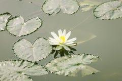 Lotus flower on pond Stock Image