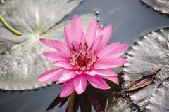 Lotus flower on pond Stock Photography