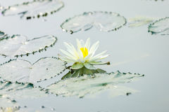 Lotus flower on pond Stock Images
