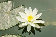 Lotus flower on pond Royalty Free Stock Images