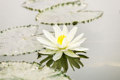 Lotus flower on pond Royalty Free Stock Photography