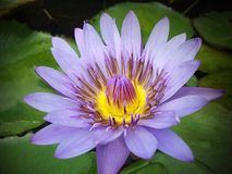 Lotus flower in the pond royalty free stock photo