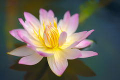 Lotus flower in pond Royalty Free Stock Photos