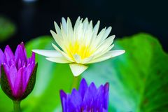 Lotus flower in the pond royalty free stock photos