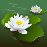 Lotus flower in the pond Royalty Free Stock Image