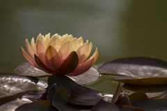Lotus flower in pond Royalty Free Stock Photo