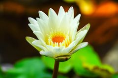 Lotus flower in the pond stock photo