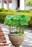 Lotus Flower Pot Foto de archivo