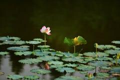 Lotus Flower pure à la rivière avec la lumière du soleil chaude d'aube Photos stock
